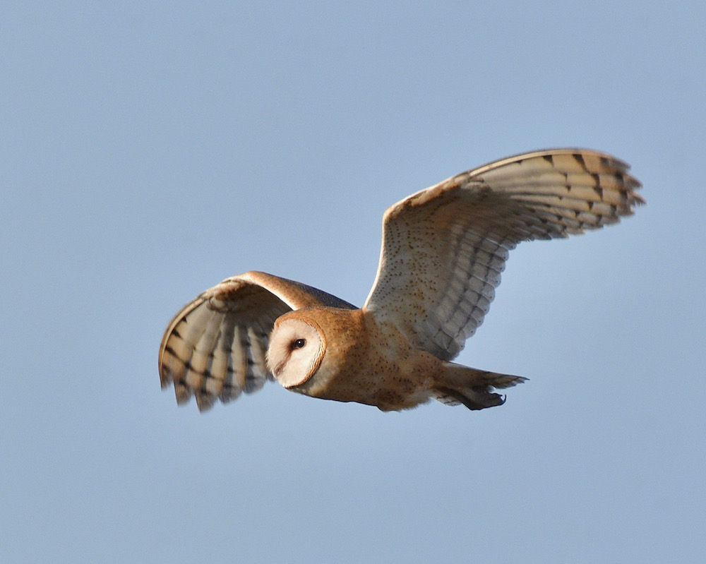 Barn Owl, Lakeview, CA. Photo by Caleb Peterson