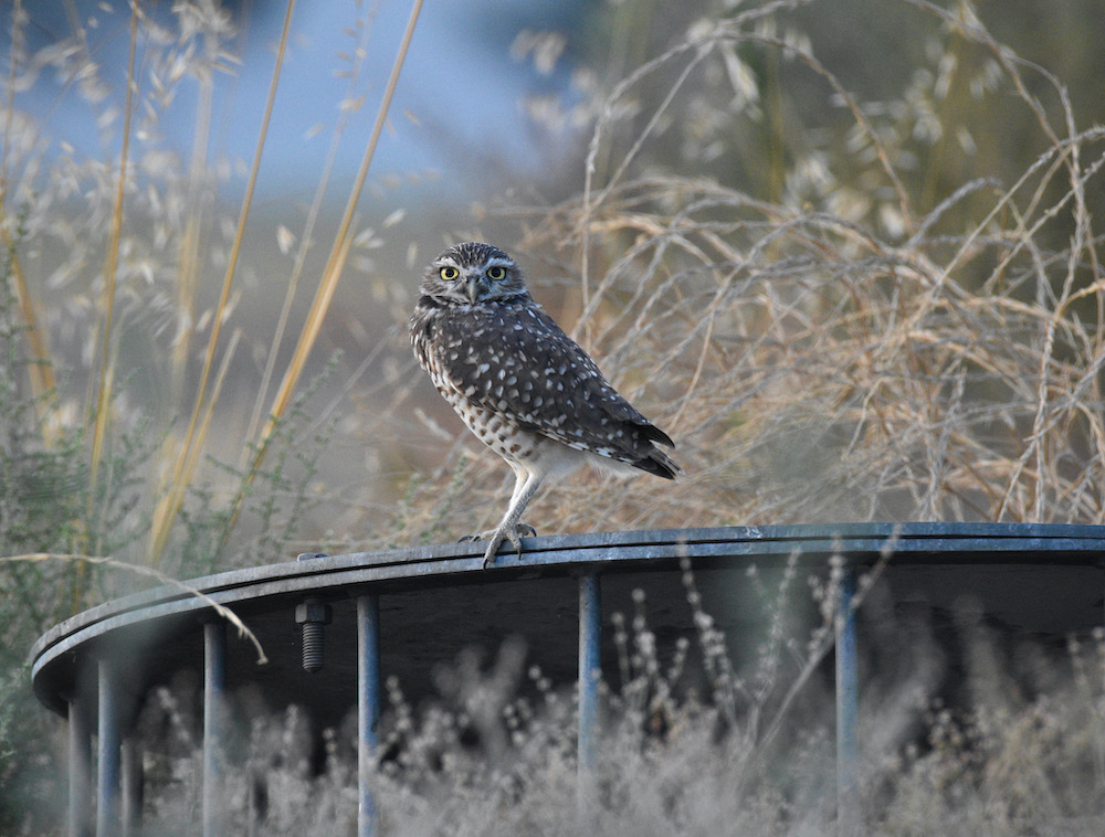 Burrowing Owl, Ontario, CA. Photo by Caleb Peterson