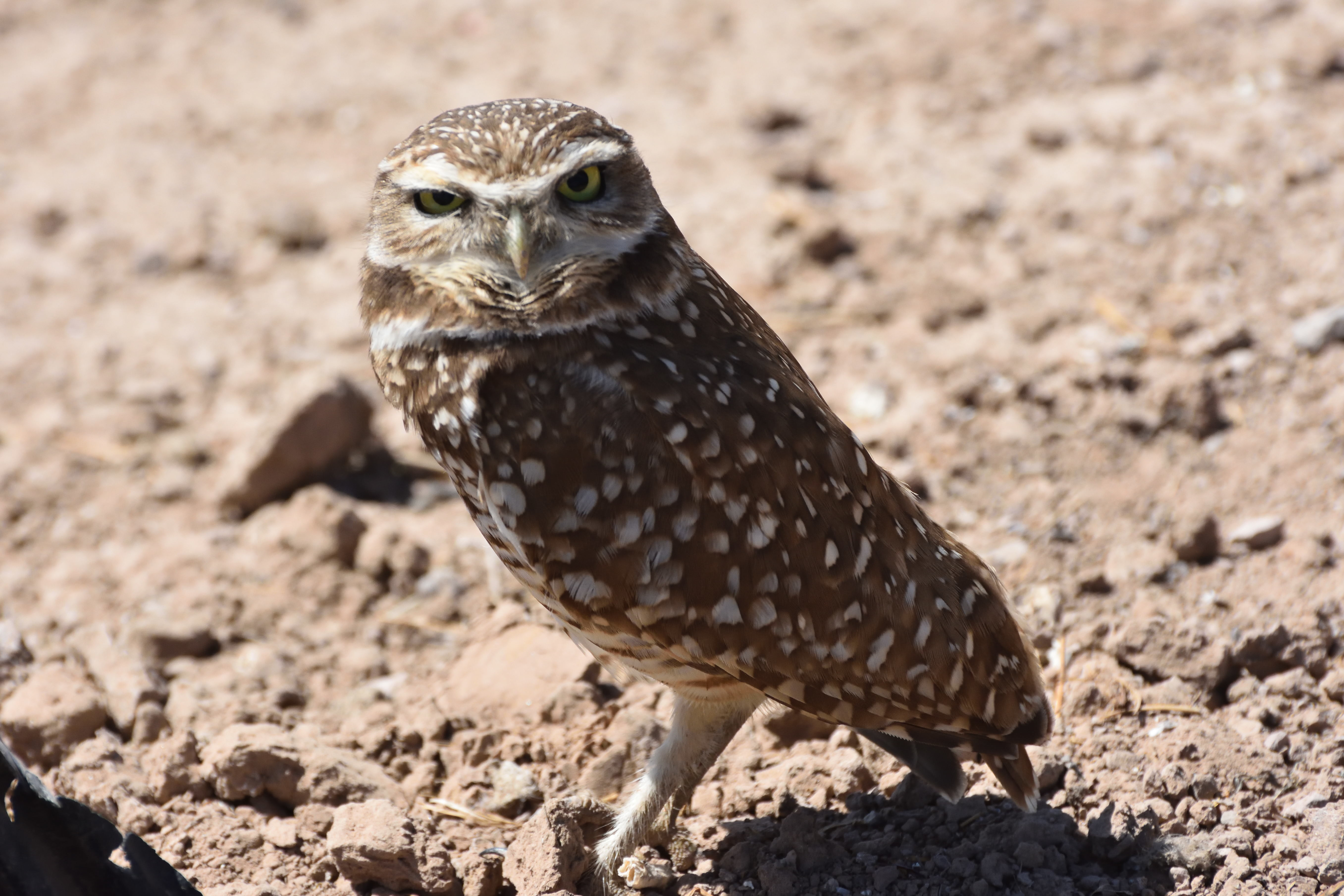 Burrowing Owl. Photo by Jerry Ewing