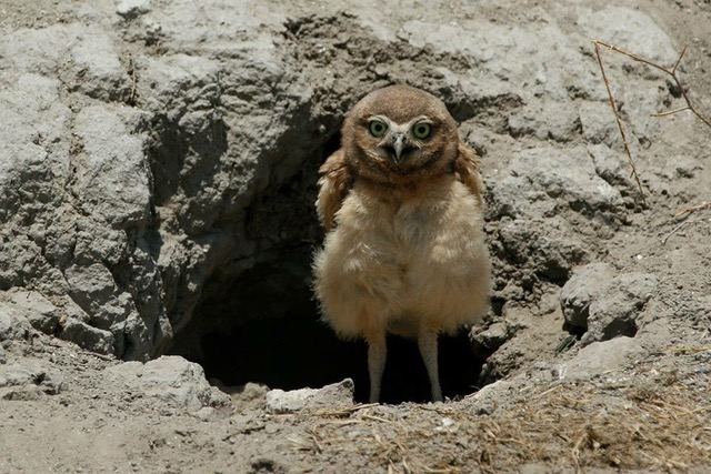 Burrowing Owlet, Chino CA. Photo by Kathryn Degner