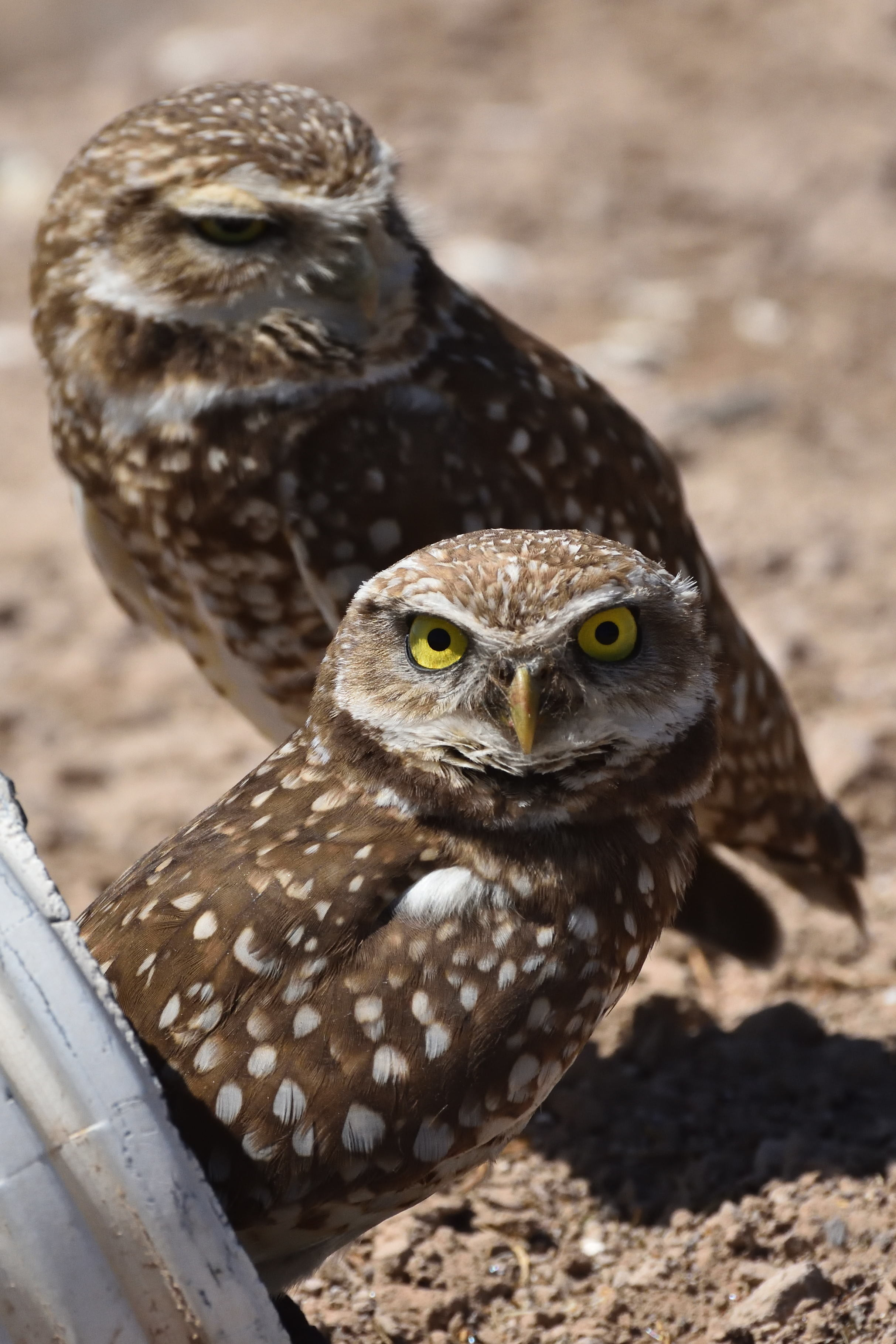 Burrowing Owls. Photo by Jerry Ewing