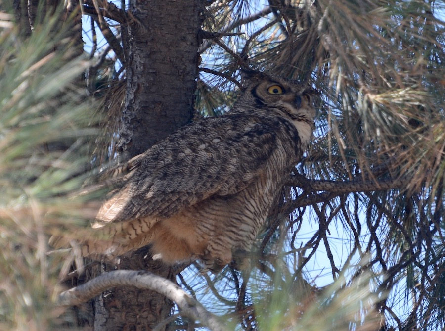 Great Horned Owl, Huntington Library. Photo by Jim Margitan