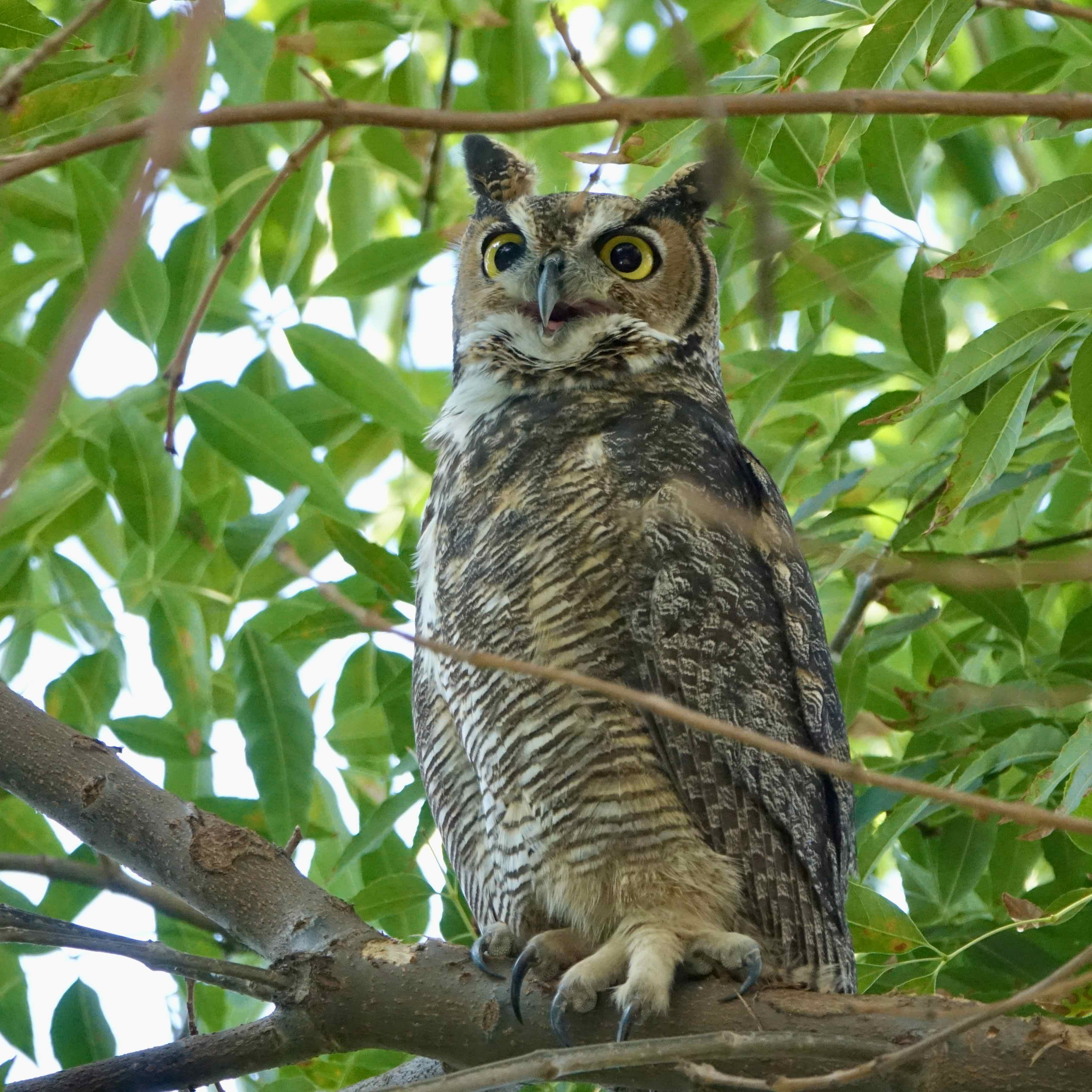 Great Horned Owl, North Hollywood. Photo by Karen Minkowski