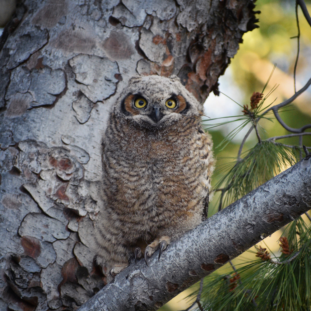 Great Horned Owlet, Yorba Linda, CA. Photo by Caleb Peterson