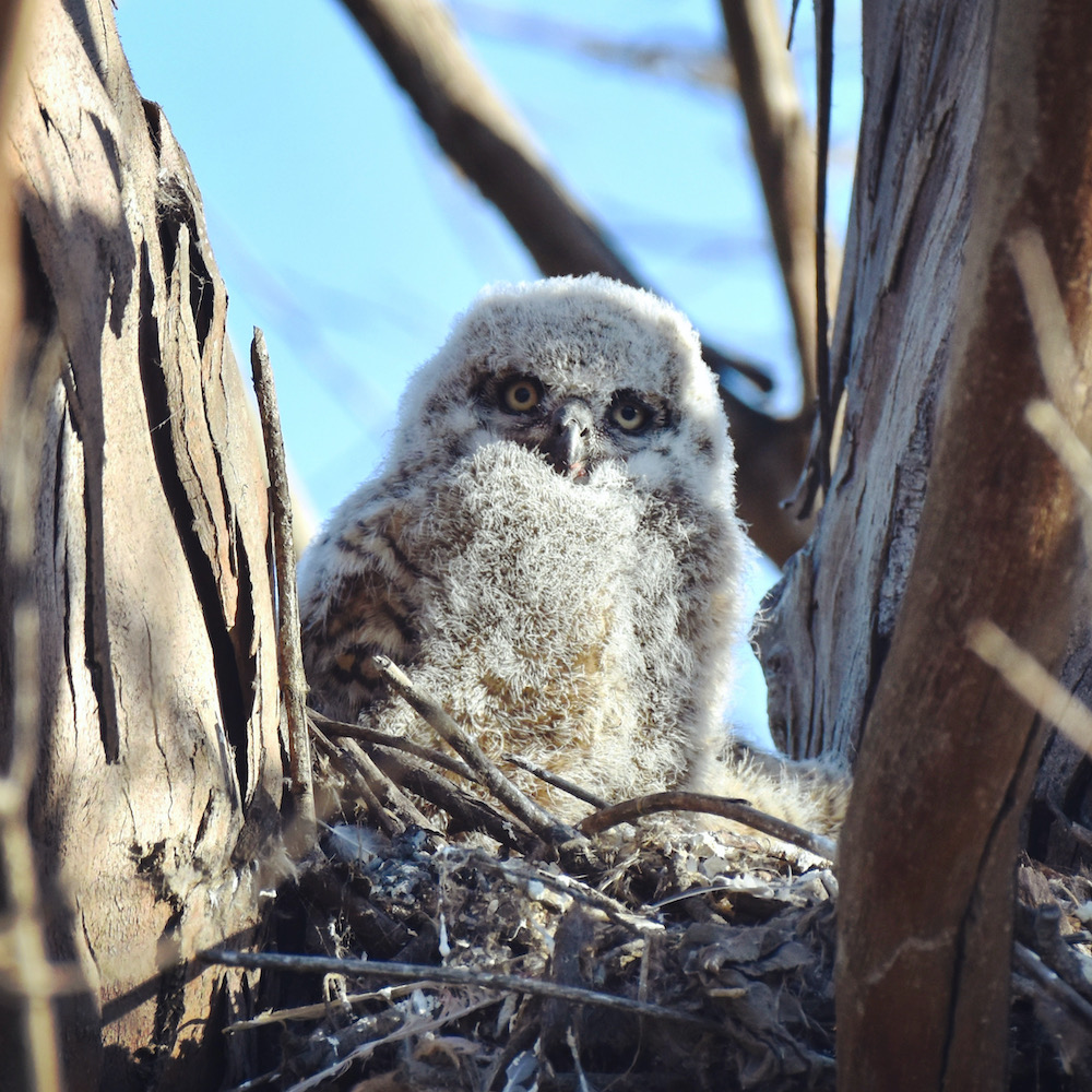 Great Horned Owlet, Huntington Beach, CA. Photo by Caleb Peterson