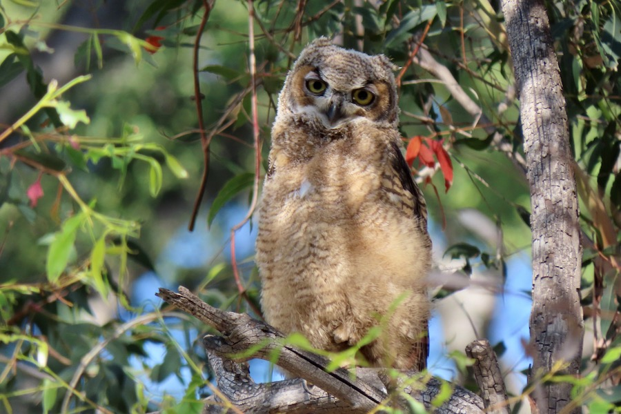 Great Horned Owl, Lower Arroyo Seco. Photo by Max Brenner