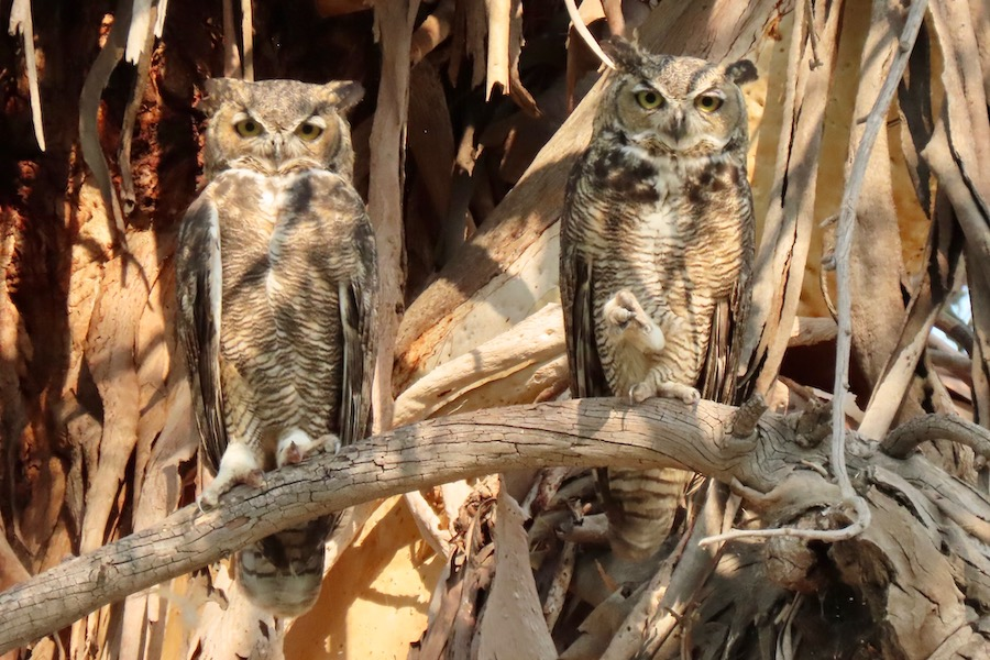 Great Horned Owls, Lower Arroyo Seco. Photo by Max Brenner