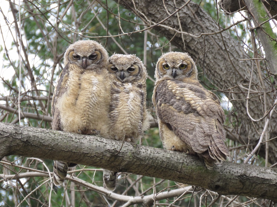 Great Horned Owlets, Lower Arroyo Seco. Photo by Max Brenner