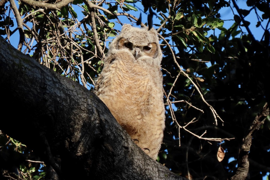 Great Horned Owlet, Lower Arroyo Seco. Photo by Max Brenner