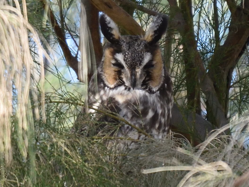 Long-eared Owl. Photo by Jerry Ewing