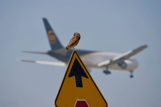 Owl near Ontario, CA airport. Photo by Genessi Torres