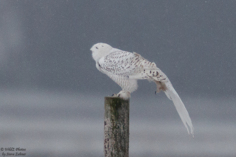 Snowy Owl, Bloomington, Illinois. Photo by Steve Zehner