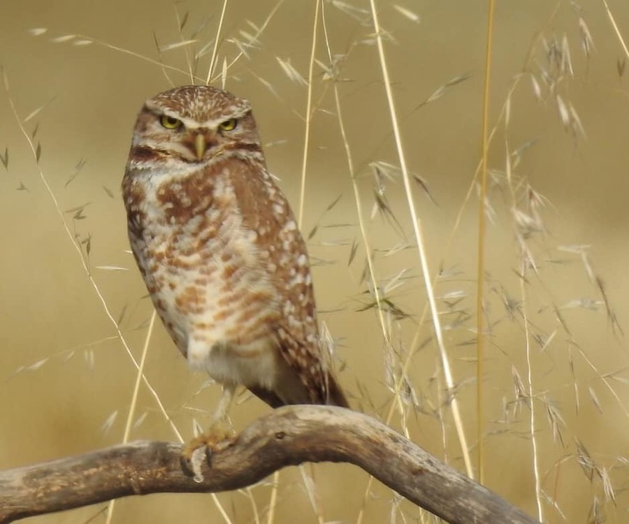 Burrowing Owl, Ontario, CA. Photo by Tom Mills