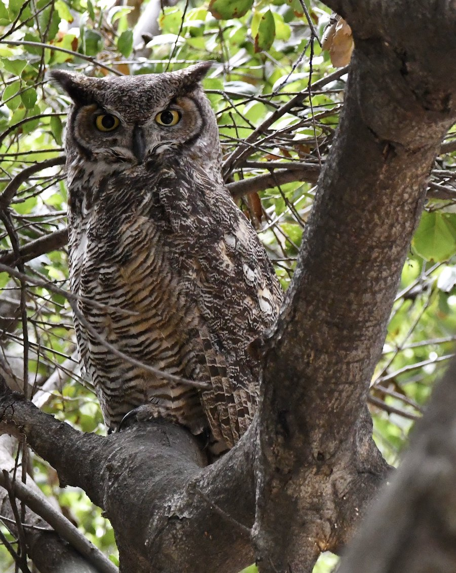 Great-horned Owl, LA Arboretum. Photo by Tom Mills