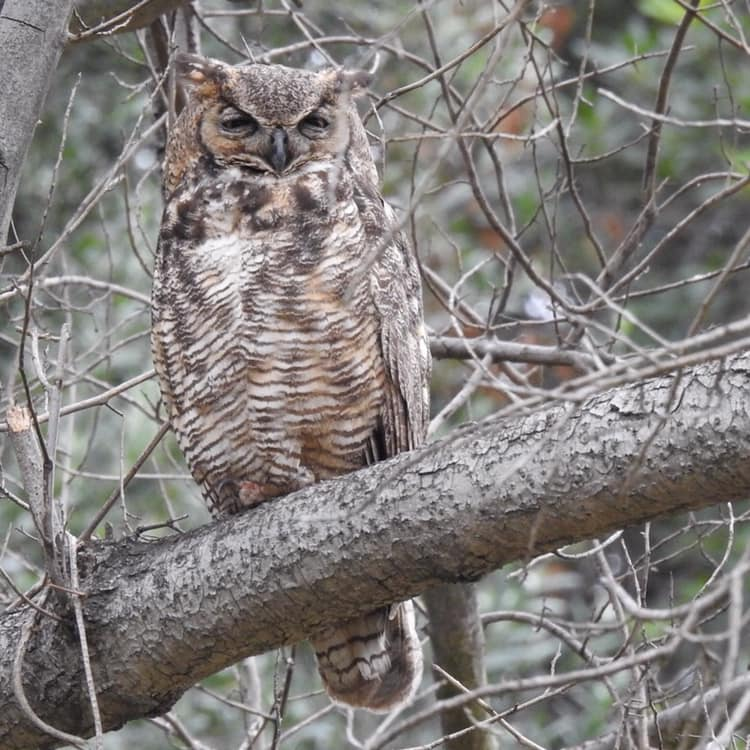 Great-horned Owl, Pasadena, CA. Photo by Tom Mills