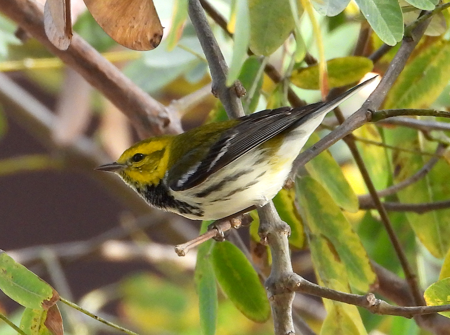 Black-throated Green Warbler, Long Beach, CA. Photo by Chris Spurgeon