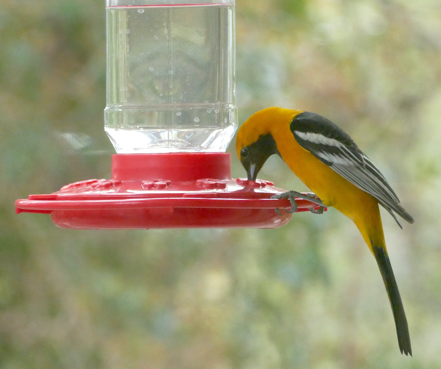 Hooded Oriole, La Crescenta, CA. Photo by Chris Spurgeon