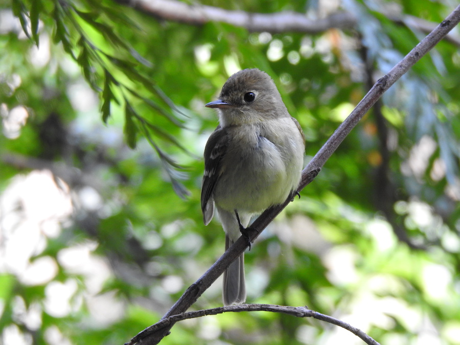 Pacific Slope Flycatcher, Eagle Rock, CA. Photo by Lois Brunet