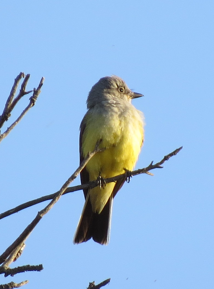 Western Kingbird, Ventura, CA. Photo by Chris Spurgeon