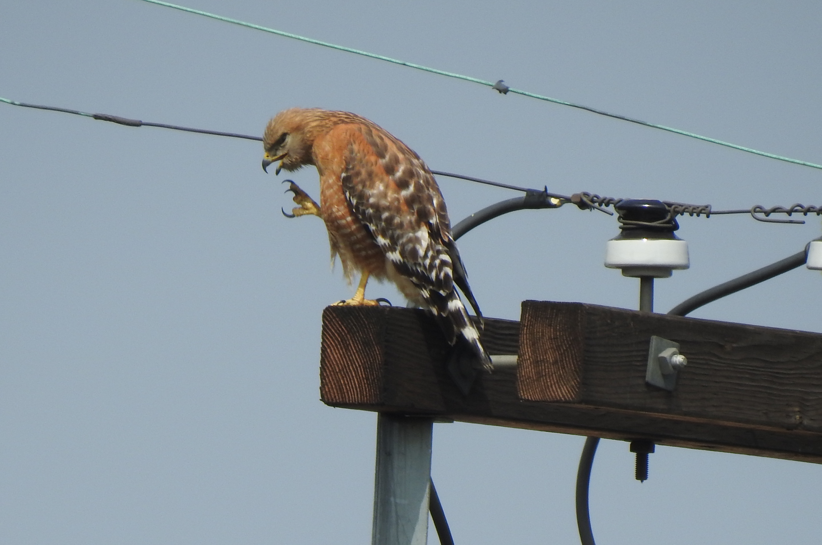 Red-shouldered Hawk photo by Lois Brunet